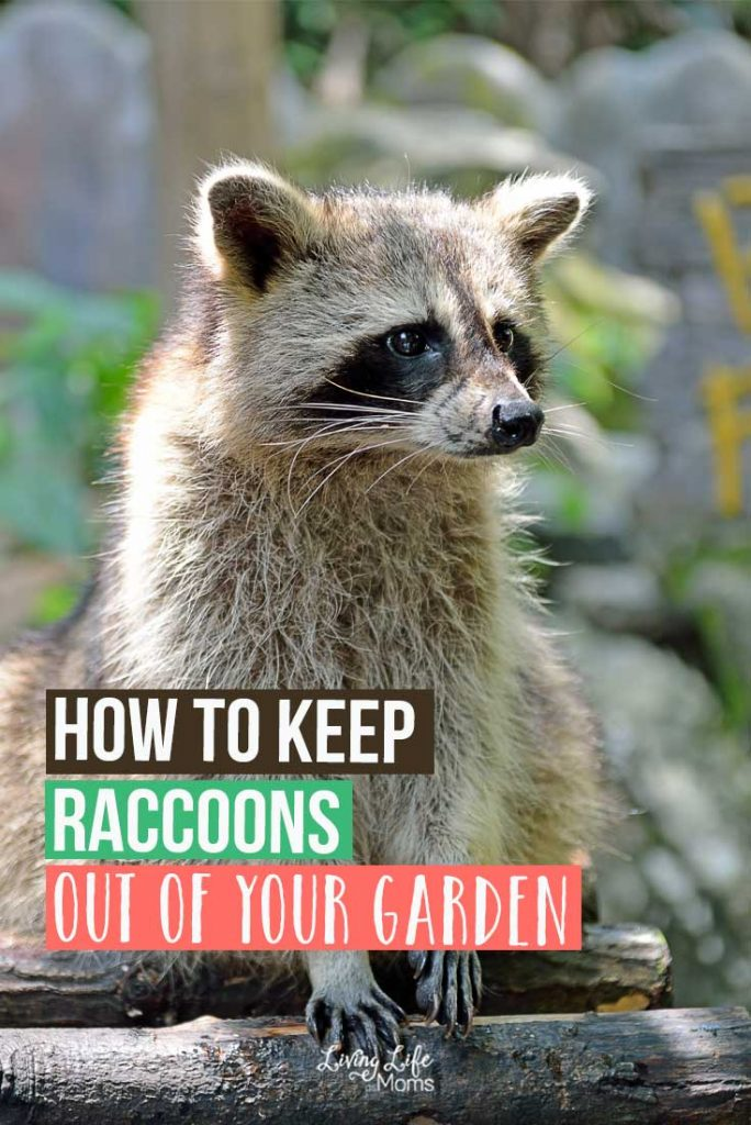 How to Keep Raccoons Out of Your Garden. A Raccoon is Pooping in my Garden! How do I get rid of it? Easy ways to keep raccoons out.